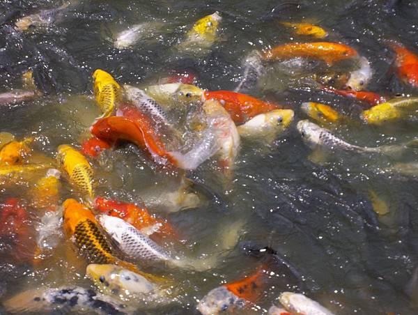 照門休閒農業區 箭竹窩秀風農場 魚池