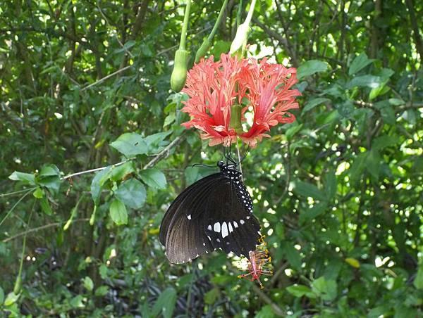 照門休閒農業區 箭竹窩秀風農場 蝴蝶吸花蜜