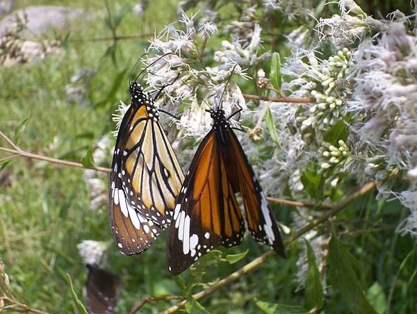 照門休閒農業區 箭竹窩秀風農場 蝴蝶好多