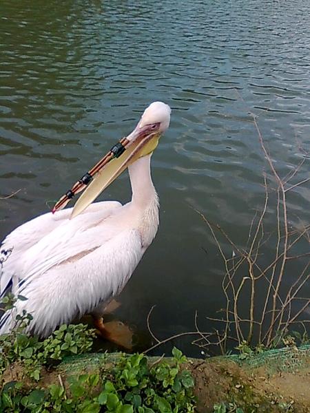綠世界 鳥嘴受傷了 用竹筷及膠帶固定