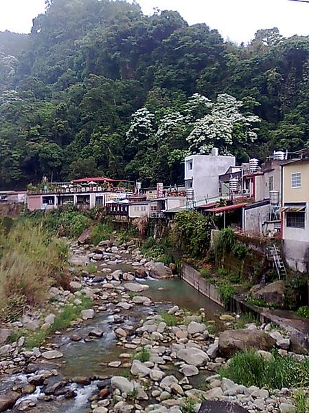 豆腐街,山上的桐花開了