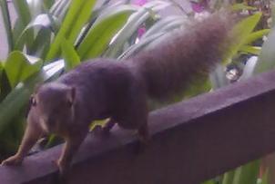 縮小版新加坡松鼠