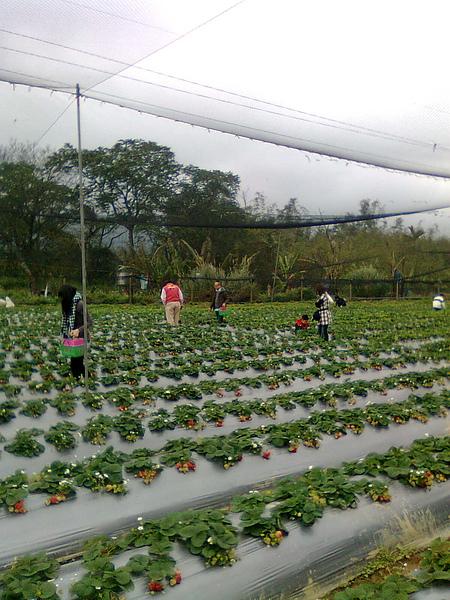 關西亞鑫草莓農園