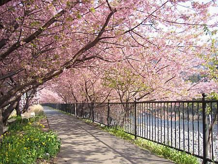 Amazing Sakura Blossom Desktop HQ