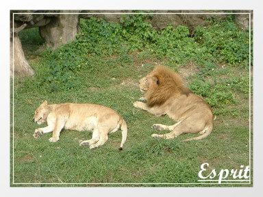 母獅與公獅