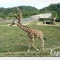 配合拍照的長頸鹿