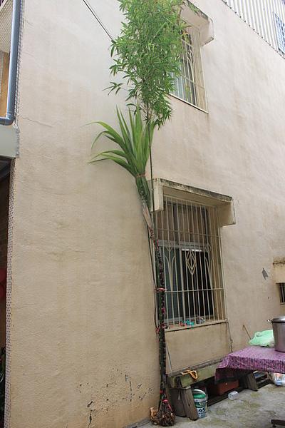 竹子甘蔗.jpg