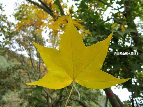 楓葉3.jpg