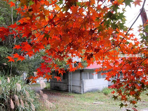 楓樹5.jpg