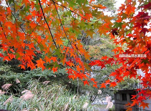 楓樹6.jpg