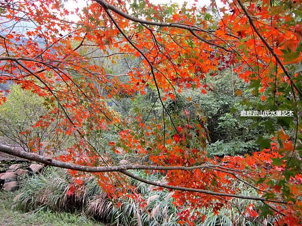 楓樹8.jpg