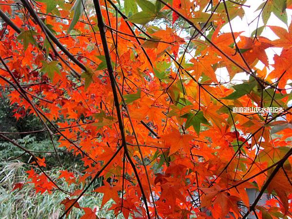 楓樹9.jpg