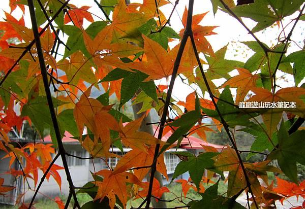 楓樹10.jpg