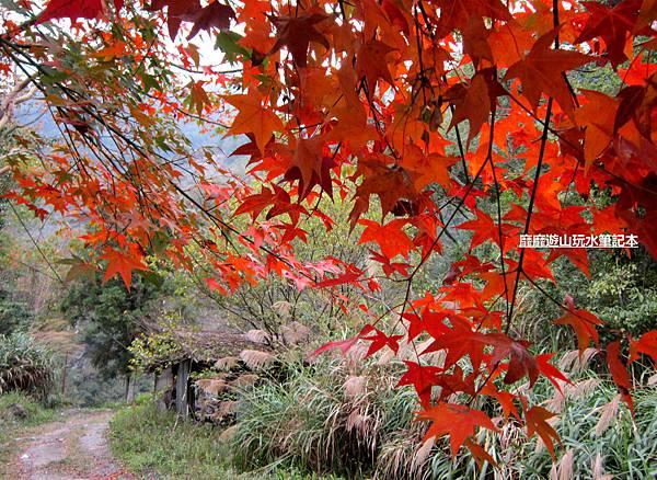 楓樹12.jpg