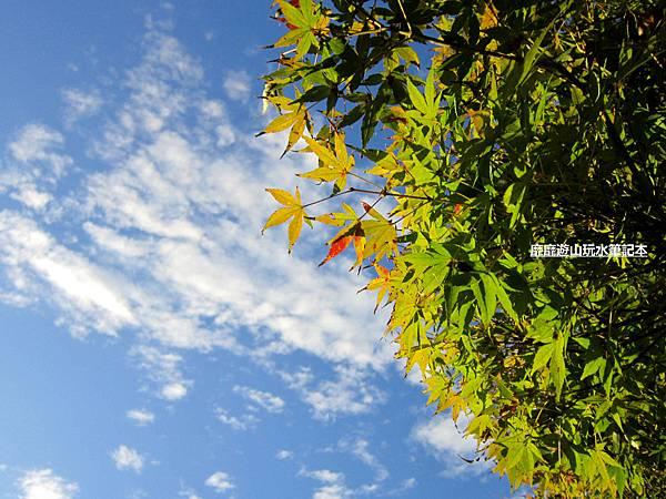 楓葉7.jpg