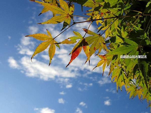 楓葉9.jpg