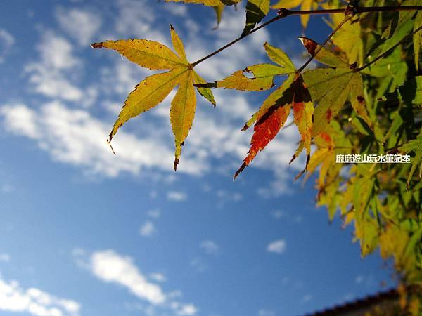 楓葉10.jpg