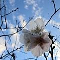 櫻花5.jpg