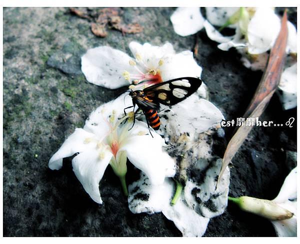 油桐花4.jpg