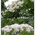 油桐花8.jpg
