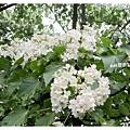 油桐花9.jpg