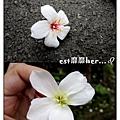 油桐花13.jpg