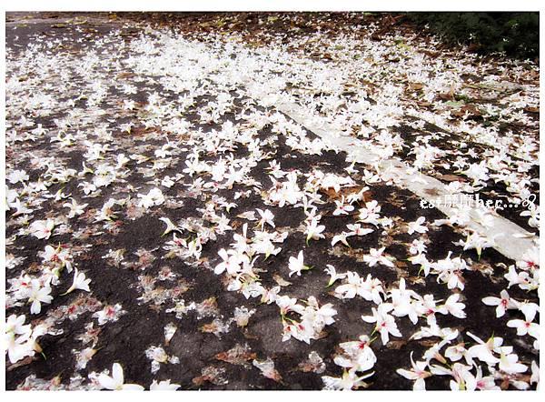 油桐花15.jpg