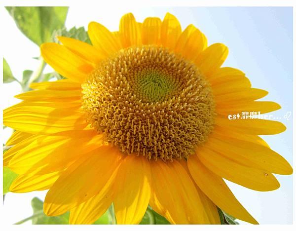 向日葵3.jpg