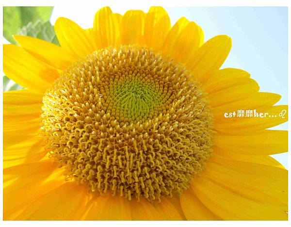 向日葵4.jpg