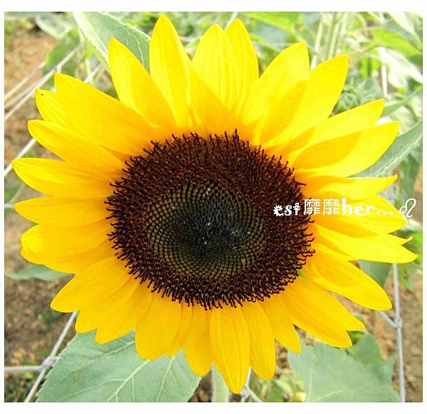 向日葵10.jpg