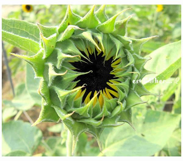 向日葵花苞2.jpg