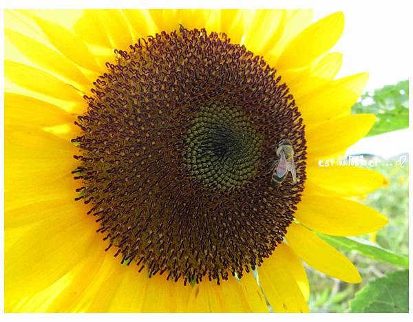 向日葵與蜜蜂.jpg