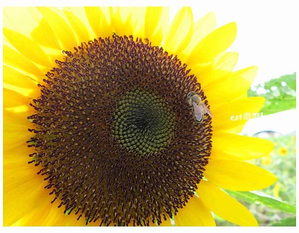 向日葵與蜜蜂2.jpg