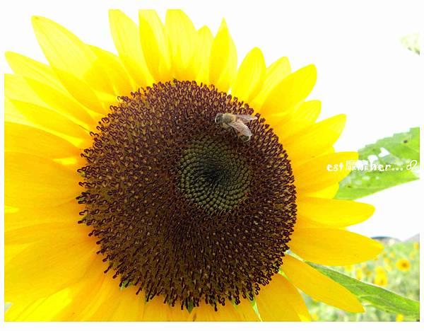 向日葵與蜜蜂3.jpg