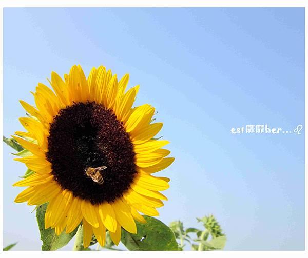 向日葵與蜜蜂4.jpg