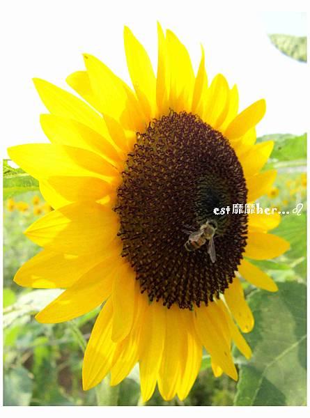 向日葵與蜜蜂5.jpg