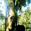 一號巨木.jpg