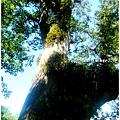 一號巨木2.jpg
