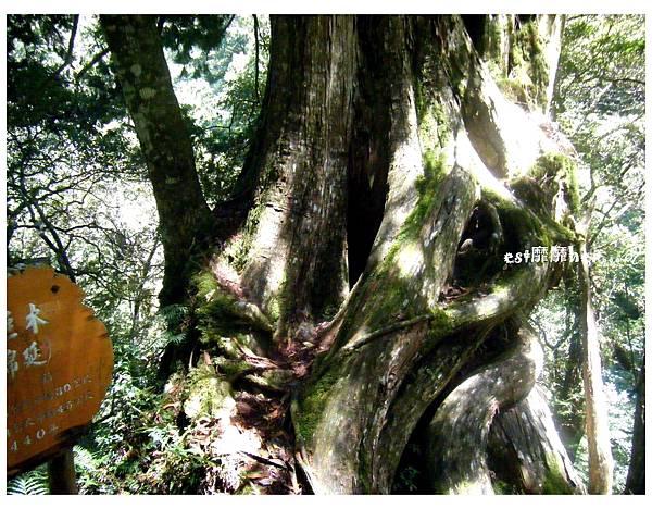 九號巨木2.jpg