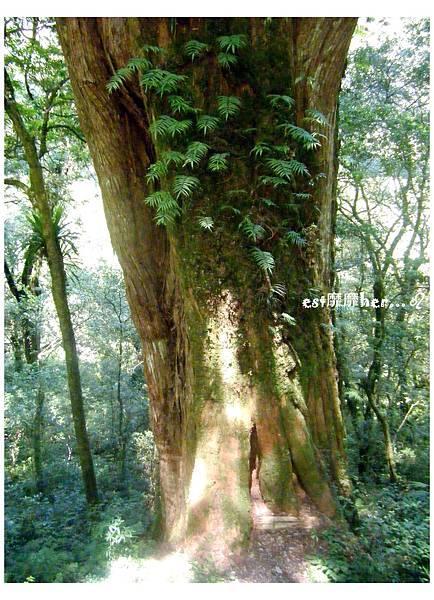 二十一號巨木.jpg