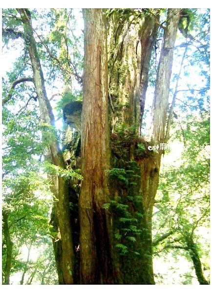 二十一號巨木2.jpg