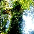 二十二號巨木.jpg