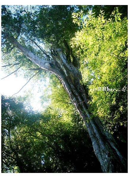 二號巨木.jpg
