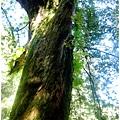 十一號巨木.jpg