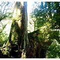 十二號巨木.jpg