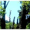 十八號巨木2.jpg