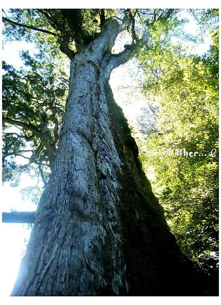 十六號巨木.jpg