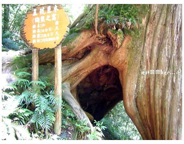 五號巨木2.jpg