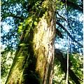 六號巨木.jpg