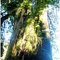 六號巨木2.jpg